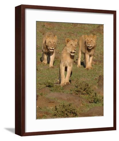 Lionesses on the Hunt Full Bleed-Martin Fowkes-Framed Art Print