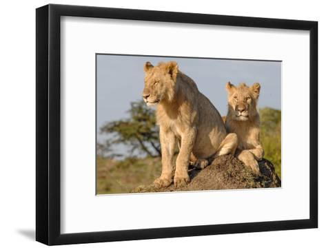 Lionesses on the Look Out-Martin Fowkes-Framed Art Print