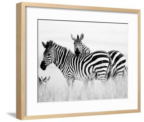 Zebras in the Tall Grass Full Bleed (b&w)-Martin Fowkes-Framed Art Print