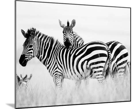 Zebras in the Tall Grass Full Bleed (b&w)-Martin Fowkes-Mounted Giclee Print