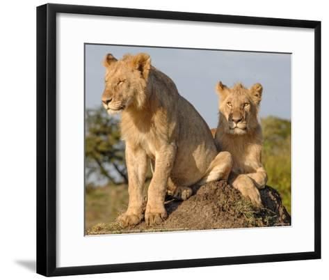 Lionesses on the Look Out Full Bleed-Martin Fowkes-Framed Art Print