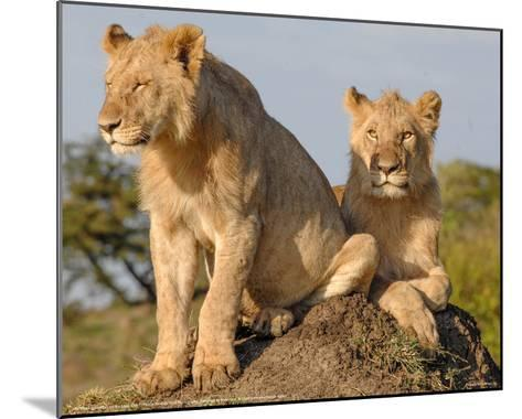 Lionesses on the Look Out Full Bleed-Martin Fowkes-Mounted Giclee Print