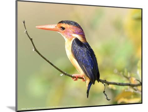 Malachite Kingfisher Full Bleed-Martin Fowkes-Mounted Giclee Print