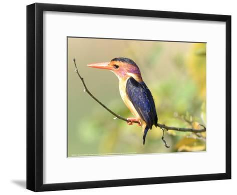 Malachite Kingfisher Full Bleed-Martin Fowkes-Framed Art Print