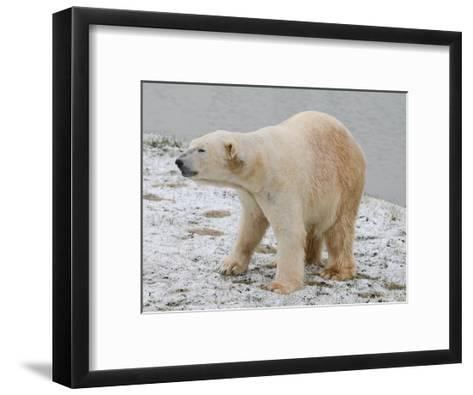 Polar Bear after the Bath-Martin Fowkes-Framed Art Print