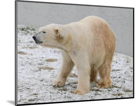 Polar Bear after the Bath-Martin Fowkes-Mounted Giclee Print