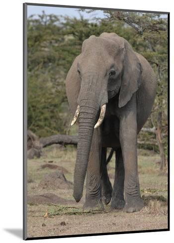 Portrait of an Elephant-Martin Fowkes-Mounted Giclee Print