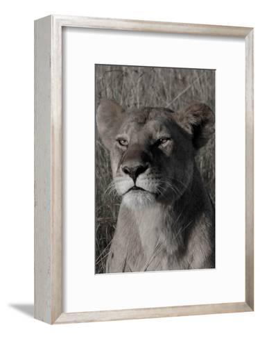 Head of a Lioness Portrait-Martin Fowkes-Framed Art Print