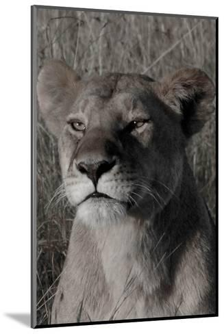 Head of a Lioness Portrait-Martin Fowkes-Mounted Giclee Print