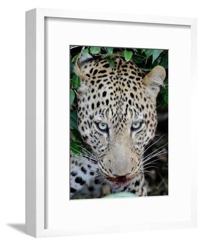Leopard after the Kill-Martin Fowkes-Framed Art Print