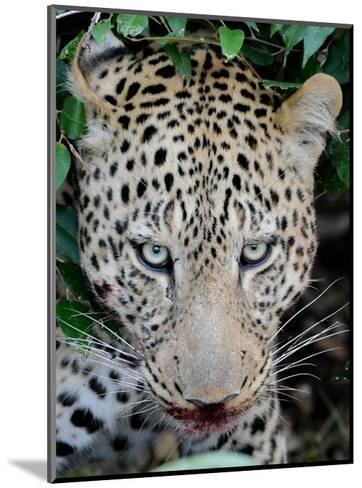 Leopard after the Kill-Martin Fowkes-Mounted Giclee Print