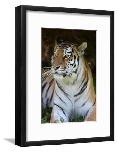 Tiger Portrait-Martin Fowkes-Framed Art Print