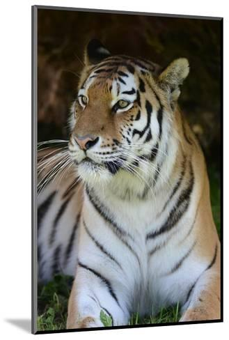 Tiger Portrait-Martin Fowkes-Mounted Giclee Print