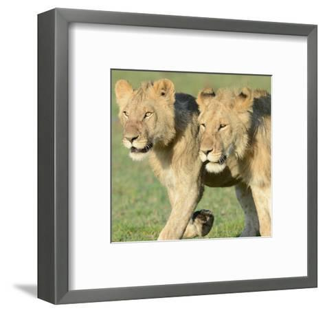 Two Lionesses-Martin Fowkes-Framed Art Print