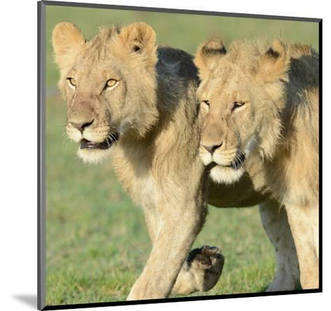 Two Lionesses-Martin Fowkes-Mounted Giclee Print