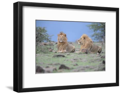Two Lions Watching-Martin Fowkes-Framed Art Print