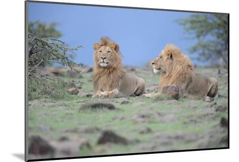 Two Lions Watching-Martin Fowkes-Mounted Giclee Print