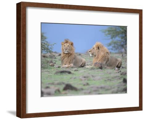 Two Lions Watching Full Bleed-Martin Fowkes-Framed Art Print