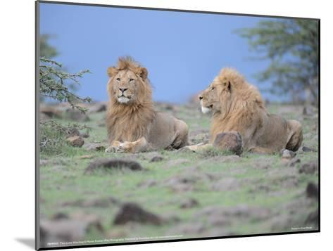 Two Lions Watching Full Bleed-Martin Fowkes-Mounted Giclee Print