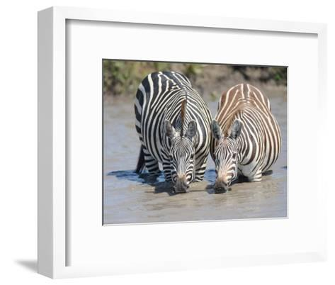 Two Zebras at the Watering Hole-Martin Fowkes-Framed Art Print