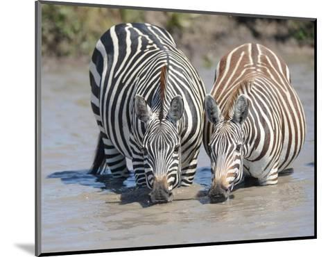 Two Zebras at the Watering Hole-Martin Fowkes-Mounted Giclee Print