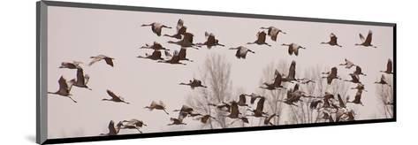 Schwartz - Cranes Across the Sky-Don Schwartz-Mounted Art Print