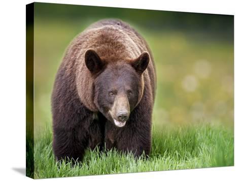Bears at Play III-PHBurchett-Stretched Canvas Print