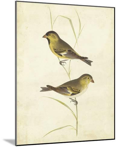 Goldfinch-Cassin-Mounted Giclee Print