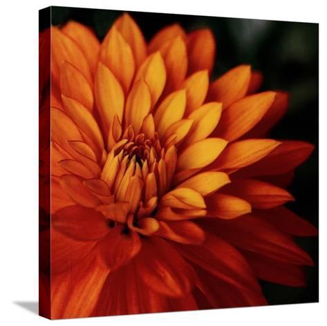 Orange Dahlia-June Hunter-Stretched Canvas Print