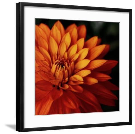 Orange Dahlia-June Hunter-Framed Art Print