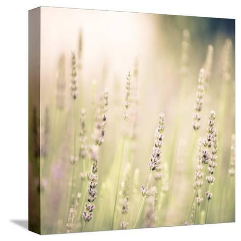 Lavender Fields-Tracey Telik-Stretched Canvas Print