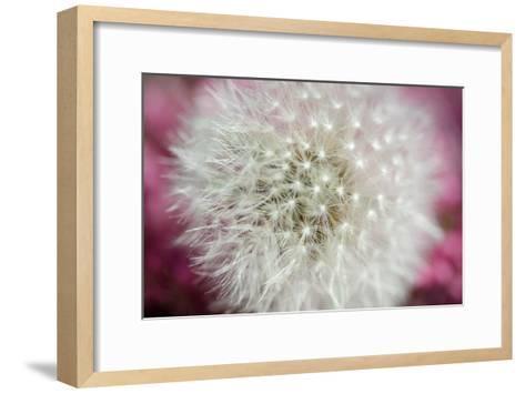 Dandelion on a rose-Nick Jackson-Framed Art Print