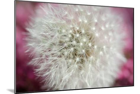 Dandelion on a rose-Nick Jackson-Mounted Art Print