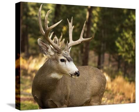 Deer Watch II-Ozana Sturgeon-Stretched Canvas Print
