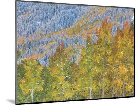 Aspen and Conifer Forest-Donald Paulson-Mounted Giclee Print
