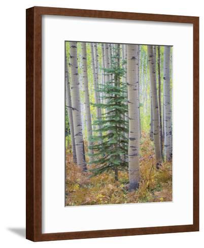Aspen Forest-Donald Paulson-Framed Art Print