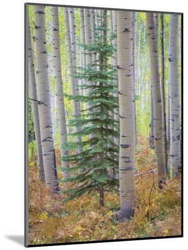 Aspen Forest-Donald Paulson-Mounted Giclee Print