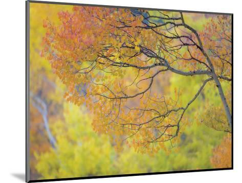 Aspen Trees IV-Donald Paulson-Mounted Giclee Print