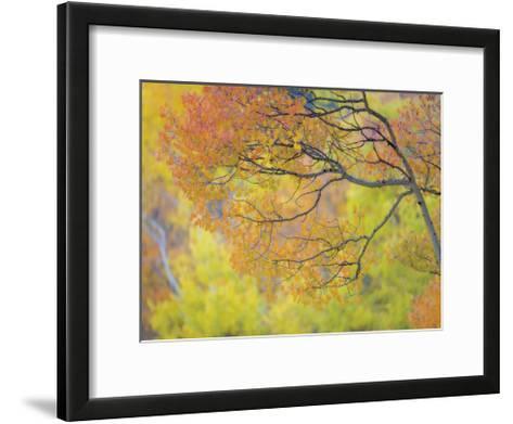 Aspen Trees IV-Donald Paulson-Framed Art Print