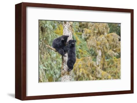 Black Bear Cubs in Tree-Donald Paulson-Framed Art Print