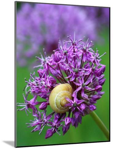 Purple Allium Flower-Wonderful Dream-Mounted Art Print
