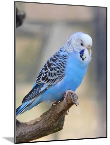 Blue Budgie Bird Parrot-Wonderful Dream-Mounted Art Print