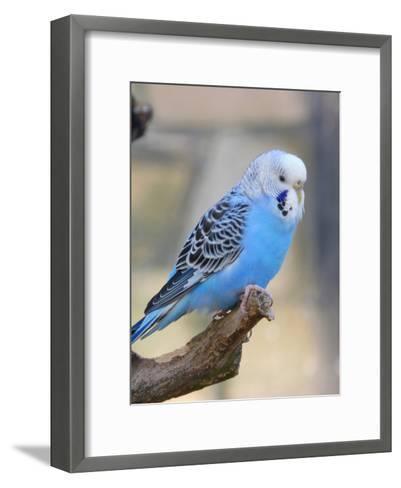 Blue Budgie Bird Parrot-Wonderful Dream-Framed Art Print