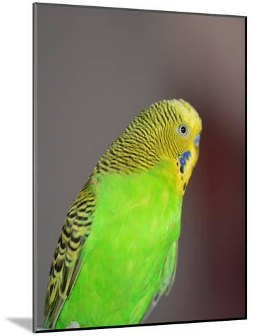 Green Budgie Bird Parrot-Wonderful Dream-Mounted Art Print