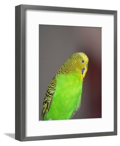 Green Budgie Bird Parrot-Wonderful Dream-Framed Art Print