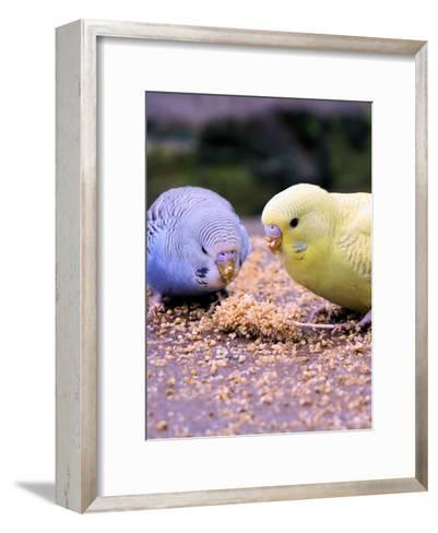 Eating Budgie Bird Wildlife-Wonderful Dream-Framed Art Print