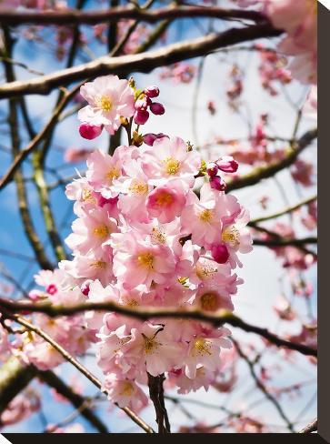 Asia Cherry Blossom-Wonderful Dream-Stretched Canvas Print