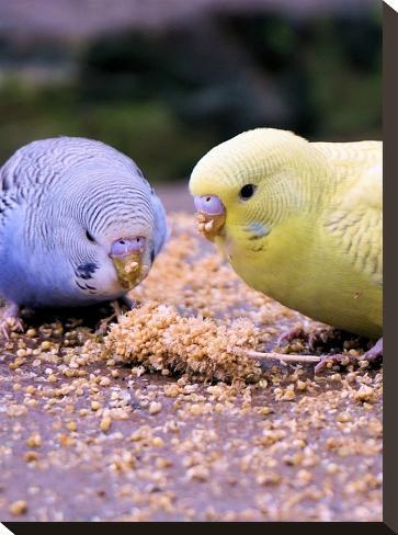 Eating Budgie Bird Wildlife-Wonderful Dream-Stretched Canvas Print
