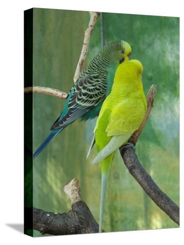Budgie In The Nature-Wonderful Dream-Stretched Canvas Print