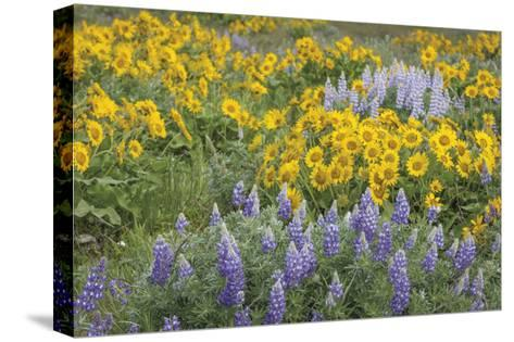 Balsamroot and Lupine 3-Don Paulson-Stretched Canvas Print